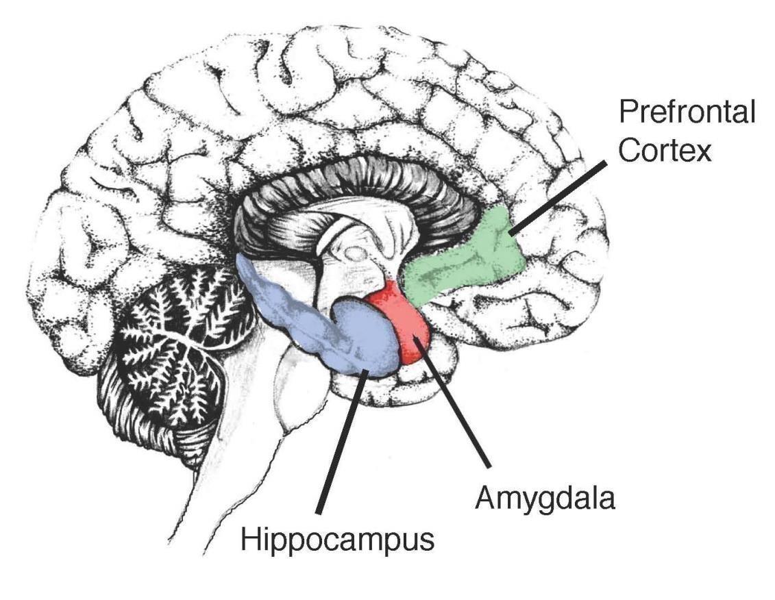 Где находятся память в мозге